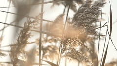 Mature reed plants Stock Footage