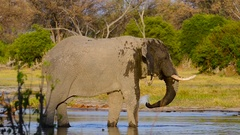 African Elephant Drinking in River Stock Footage