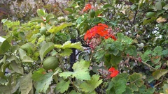 Cluster of geranium grape and lemon tree Stock Footage