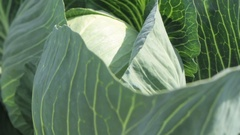 White cabbage head in a field. Close-up view Stock Footage