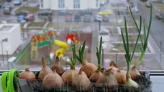 Several onions grow in small box near window with playground behind Stock Footage