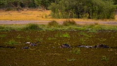 Hippo Pod At Dusk Stock Footage
