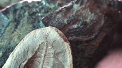 Prehistoric life forms trilobites and phacops, and fern fossils Stock Footage