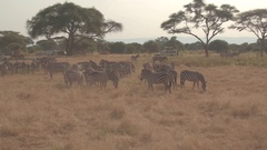 CLOSE UP: Safari jeeps stopping near herd of wild zebras relaxing near water Stock Footage