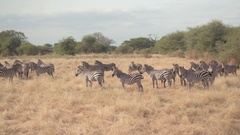 CLOSE UP: Cute wild zebras standing on plain tropical savannah fields pasturing Stock Footage
