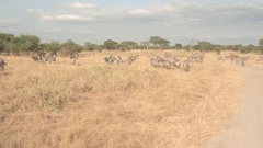 CLOSE UP: Safari game ride past herd of zebras pasturing in savanna meadow field Stock Footage