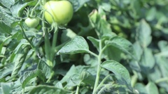 Green tomatoes ripening on the branch.Close up view. Big plantation Stock Footage