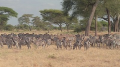 CLOSE UP: Herd of zebras relaxing in shade of acacia trees in African safari Stock Footage