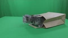 Beautiful little kittens Scottish Fold in paper bagon Green Screen Stock Footage