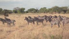 CLOSE UP: Zebras standing on vast savannah field and relaxing on hot summer sun Stock Footage