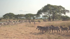 CLOSE UP: Herds of wild zebras running towards fresh water supply in hot savanna Stock Footage