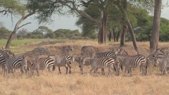CLOSE UP: Adult and baby zebras pasturing in shade of acacia tree in hot Africa Stock Footage
