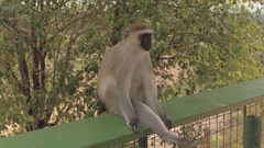CLOSE UP: Portrait of African vervet monkey sitting and relaxing on wooden fence Stock Footage