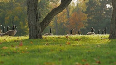 On green meadow walks flock of Canada Geese. Clear autumn day in front of the Stock Footage