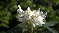4k Beautiful white Azaleas flowers species close up in botanic garden Stock Footage