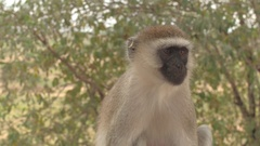 CLOSE UP: African vervet monkey sitting on wooden fence watching to steal food Stock Footage