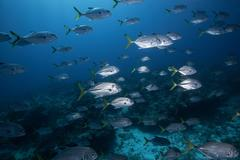School of juvenile bigeye jacks (caranx latus), Cozumel island, Mexico Stock Photos