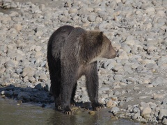 Grizzly Bear Looking for Salmon on Shore of River Stock Footage