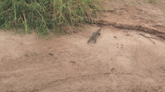 CLOSE UP: Big African monitor lizard in natural habitat in arid and hot savanna Stock Footage