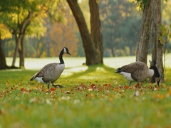 Canada Geese fun to go one by one long line. On a green meadow on a clear fall Stock Footage