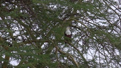 CLOSE UP: Beautiful African fish eagle sitting on a branch in lush acacia tree Stock Footage