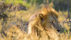 Lion looks away & lowers head Stock Footage