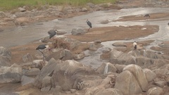 CLOSE UP: Safari African waterbirds relaxing near small river and hunting fish Stock Footage
