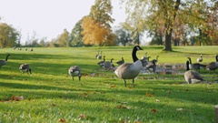 Canada Geese grazing on green meadow. In one of the parks in Buffalo, United Stock Footage