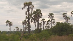 CLOSE UP: Safari game drive past lush green acacia and palm tree forest woodland Stock Footage