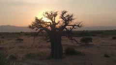 AERIAL: Mighty baobab tree in vast plain savannah field at golden light sunset Stock Footage