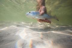 Man releasing small redfish back into the water after catch, Fort Walton Beach, Stock Photos