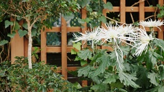 Landscaping. White Asters grow at a wooden fence Stock Footage