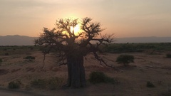 AERIAL: Mighty baobab tree in vast plain savannah field at peachy light sunrise Stock Footage