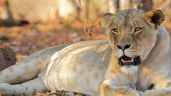 Lioness Breathing Heavily Stock Footage