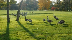 On green meadow walks flock of Canada Geese. Clear autumn day, Long shadows Stock Footage