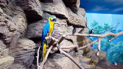 Blue-and-yellow macaw sitting on branch Stock Footage