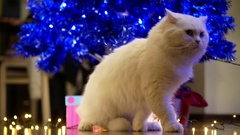 Woman passing by white furry cat near Christmas tree Stock Footage