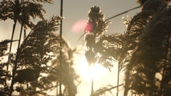 Reed plants and sunlight Stock Footage