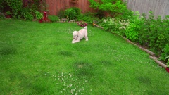 White dog lying down. White poodle playing outside. Playful dog running grass Stock Footage