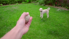 Man hand throwing ball. Dog playing with toy. White poodle dog chasing ball Stock Footage