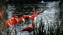 Flamingos Preening Standing In Water With Green Reeds Stock Footage