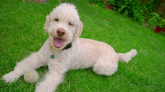 Happy dog lying down on grass. White labradoodle resting on green grass Stock Footage