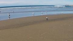 Seagulls Standing On The Seashore Pan- La Jolla California Beach Stock Footage