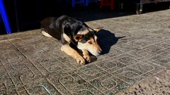 Sheep-dog Rests on Street Pavement under Bright Sunlight Stock Footage