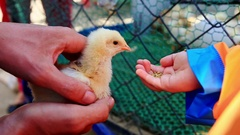 Little Girl Tries to Feed Chicken from Hand Fears at Farm Stock Footage