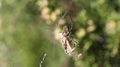 Banded garden spider cracks down with the grasshopper. Part 8 Stock Footage