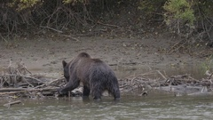 Grizzly Bear Eating Salmon on Branches in River Stock Footage