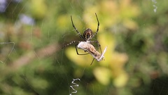 Banded garden spider cracks down with the grasshopper. Part 7 Stock Footage
