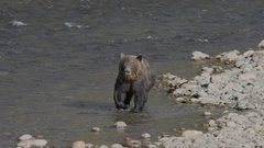 Grizzly Bear with Large Tape Worm in River Stock Footage