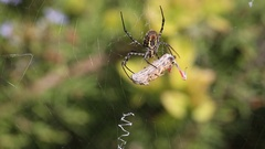 Banded garden spider cracks down with the grasshopper. Part 6 Stock Footage